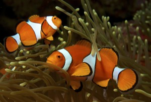 Amphiprion_ocellaris_(Clown_anemonefish)